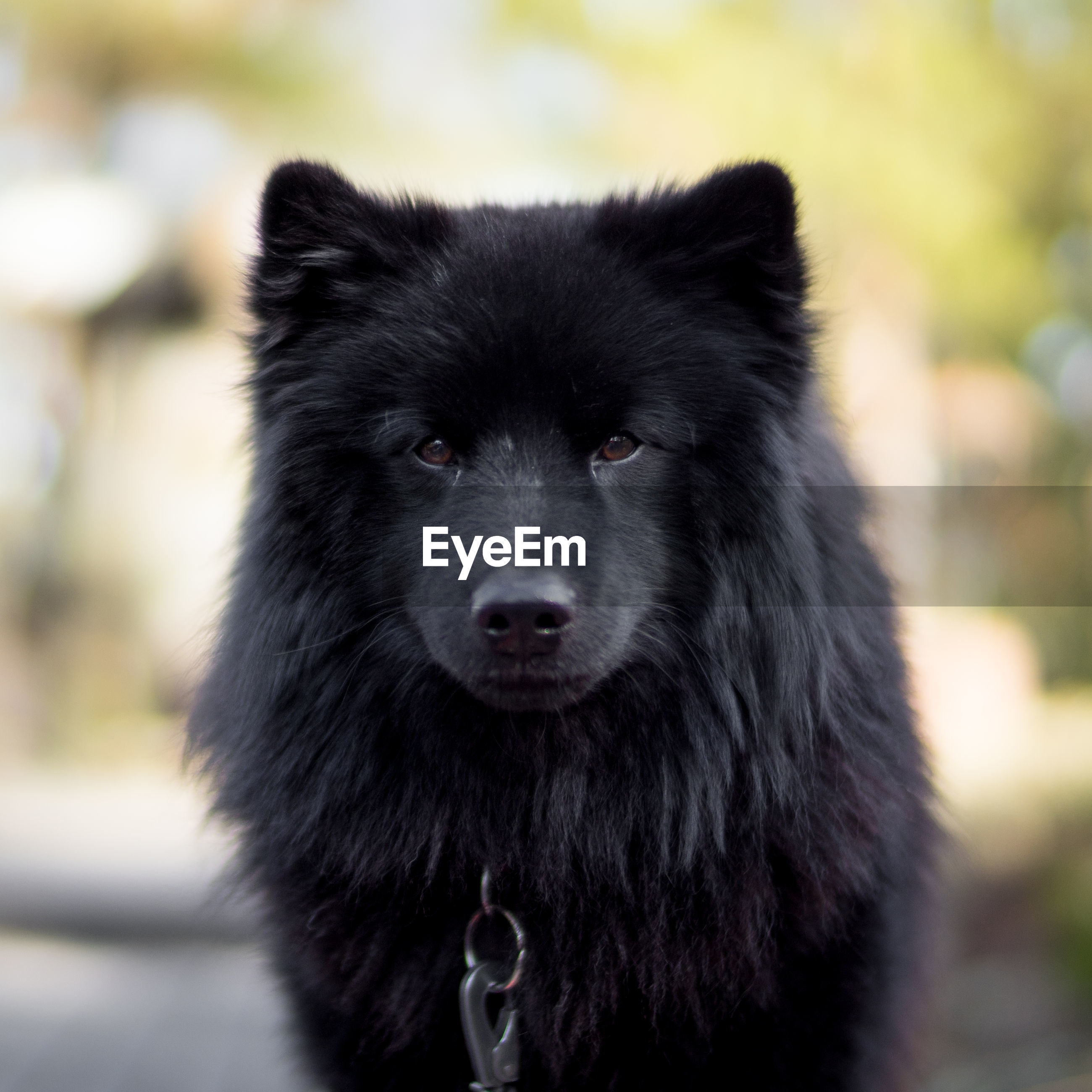 Portrait of swedish lapphund