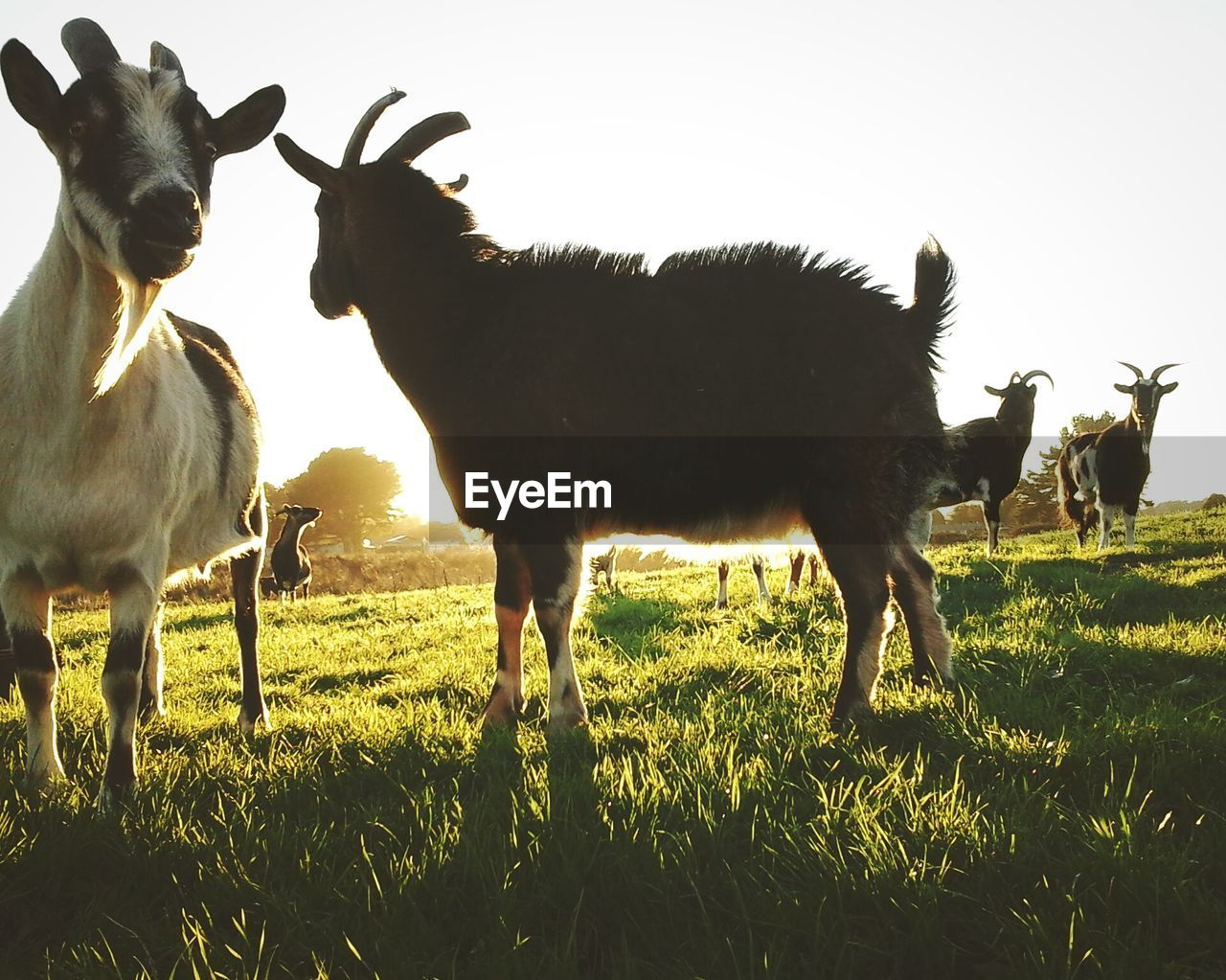 Goats On Grassy Field Against Clear Sky