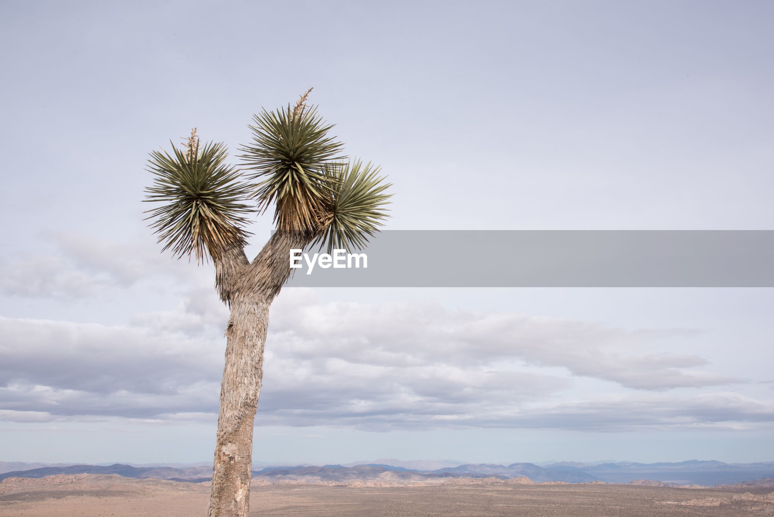 Low angle view of joshua tree growing against cloudy sky