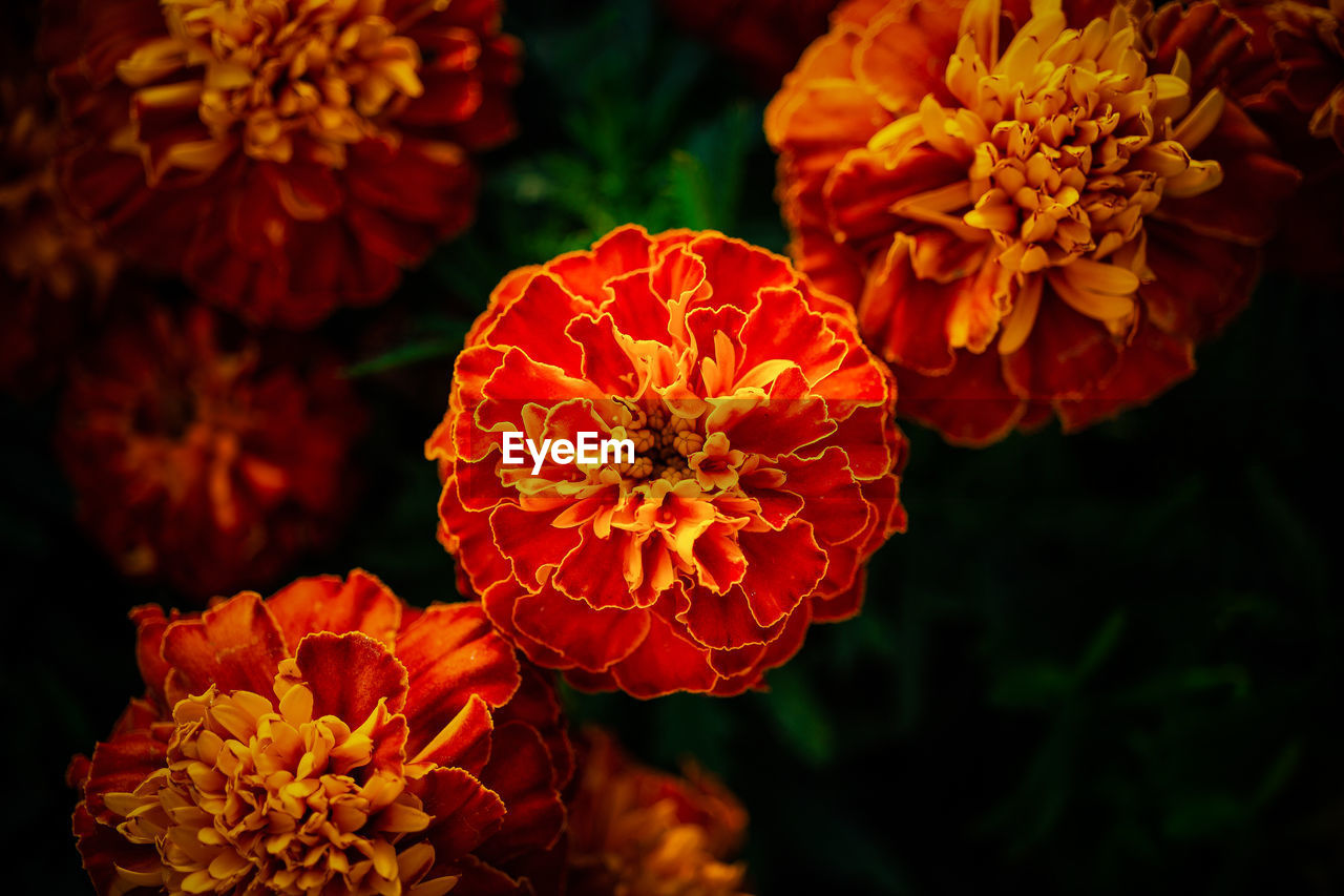 HIGH ANGLE VIEW OF RED MARIGOLD FLOWER