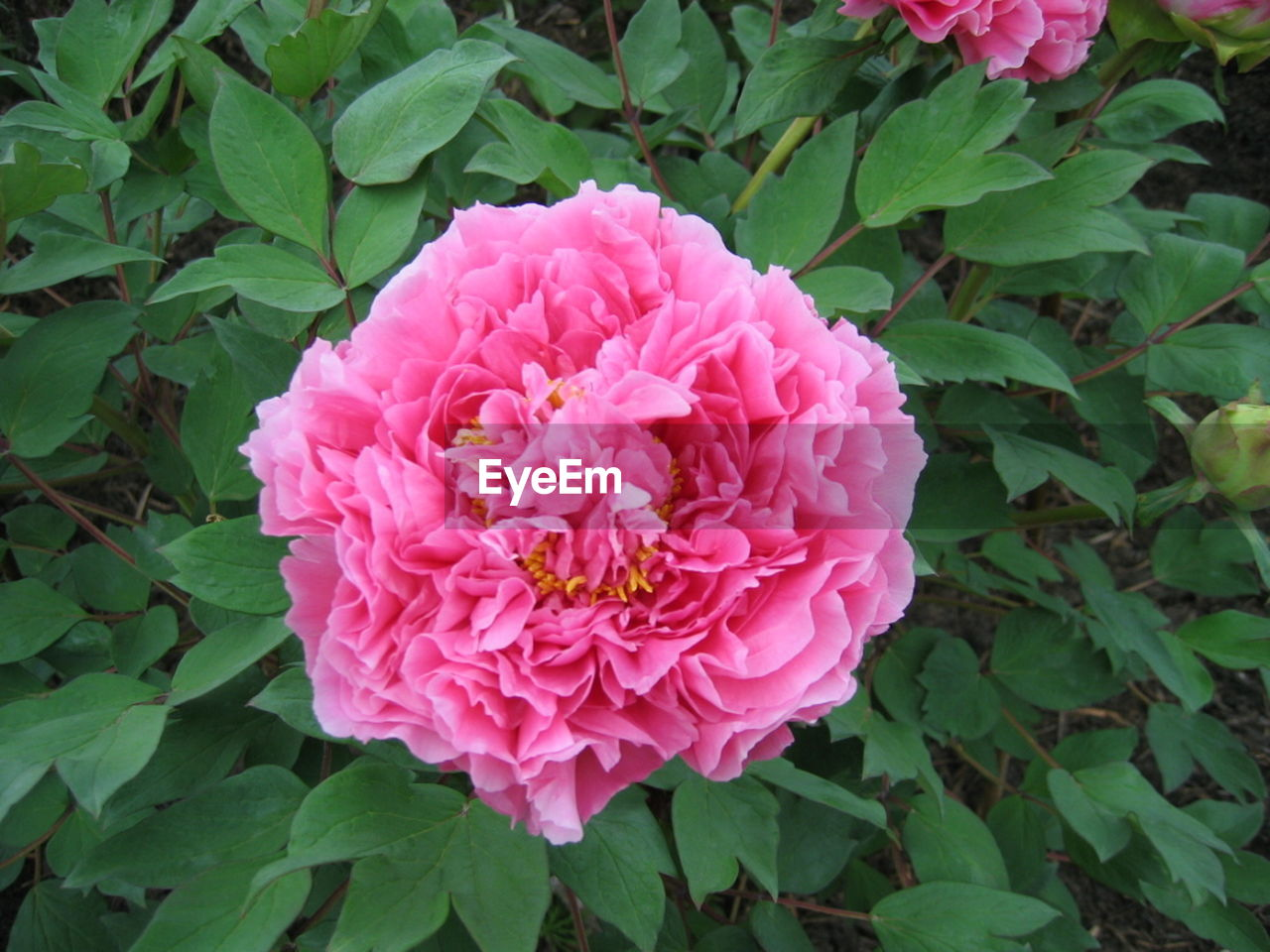 flower, nature, leaf, beauty in nature, plant, growth, pink color, petal, no people, outdoors, green color, fragility, flower head, peony, close-up, day, blooming, freshness