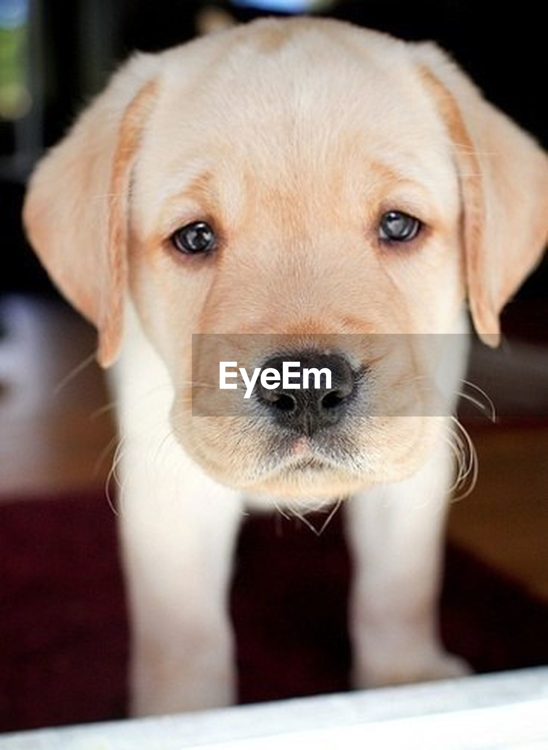 dog, pets, domestic animals, mammal, portrait, animal head, close-up, focus on foreground, snout, puppy, animal body part, cute, no people, selective focus