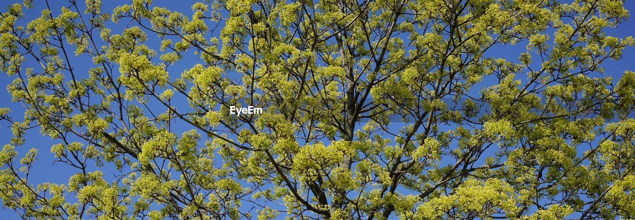 plant, tree, beauty in nature, low angle view, growth, sky, no people, day, yellow, branch, nature, tranquility, flower, flowering plant, blue, full frame, outdoors, clear sky, blossom, springtime, spring