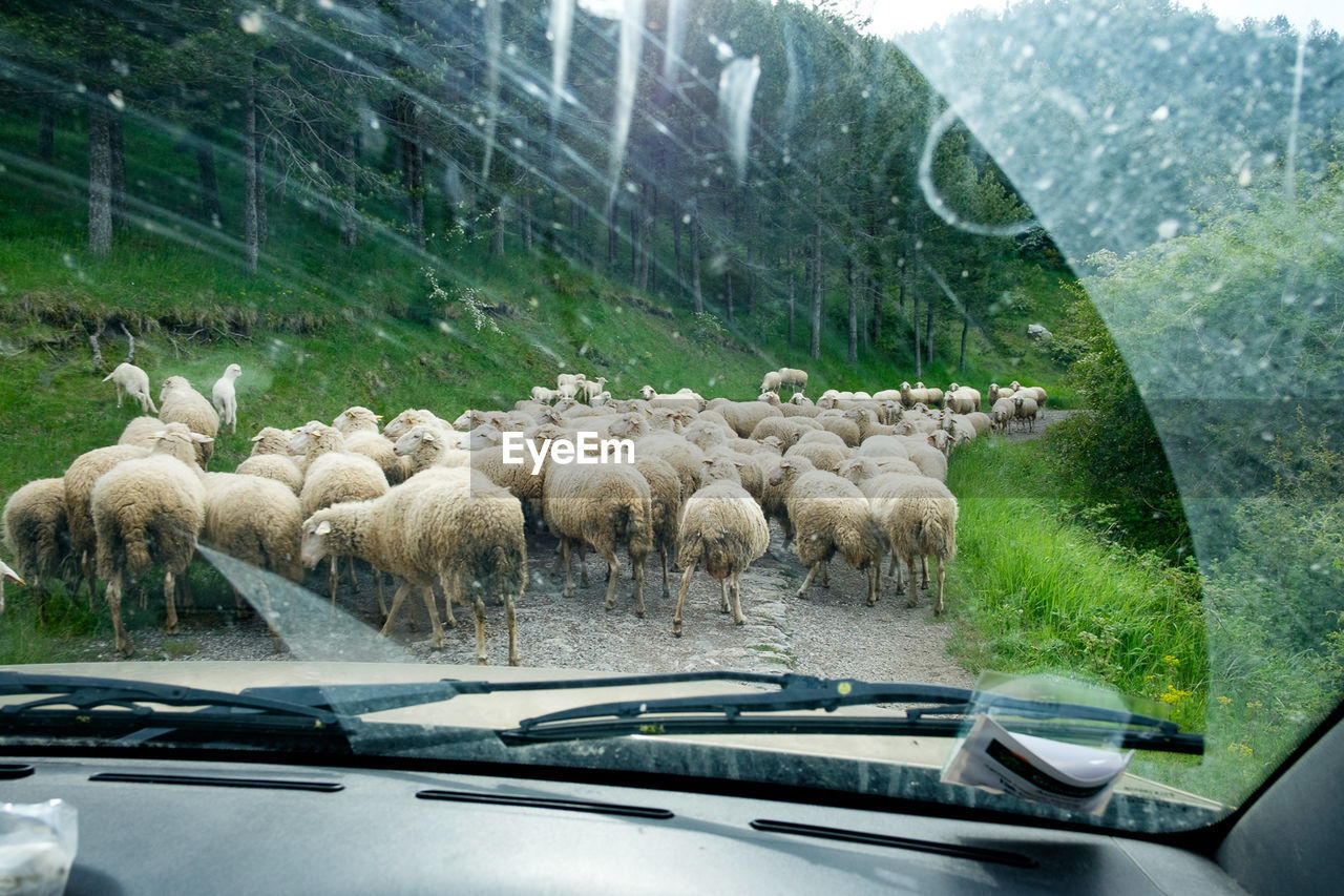 car, large group of animals, flock of sheep, land vehicle, sheep, animal themes, livestock, transportation, day, mammal, domestic animals, no people, nature, togetherness, outdoors
