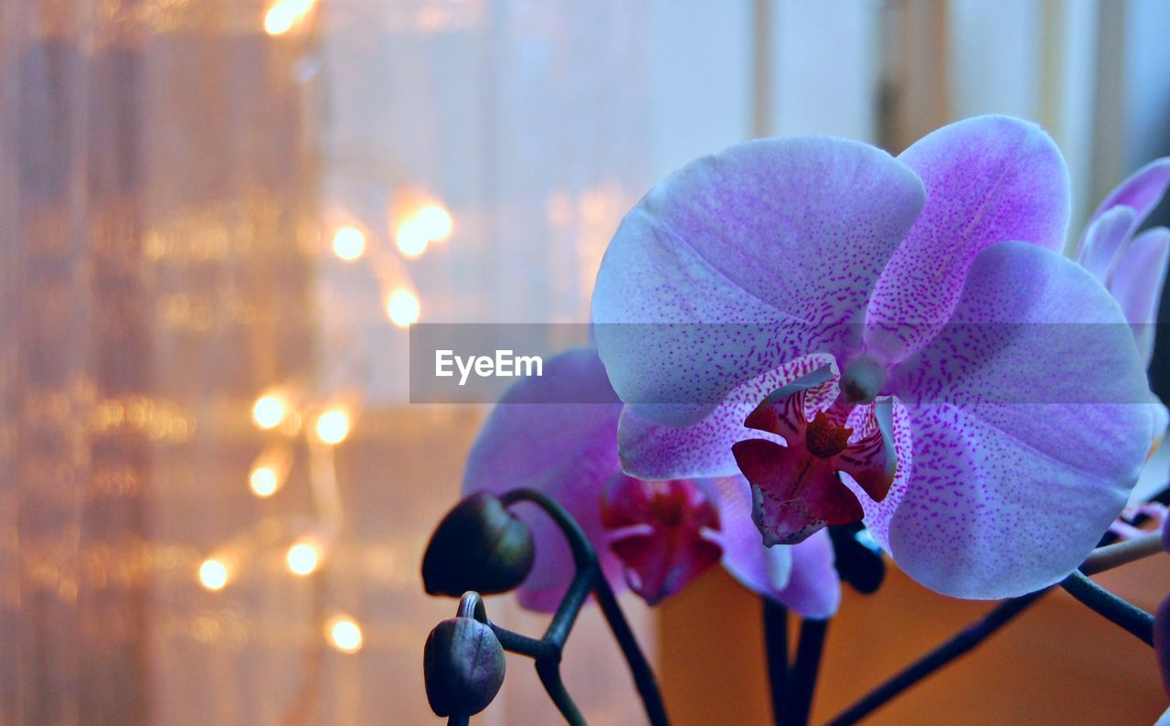 Close-up of orchids in illuminated room