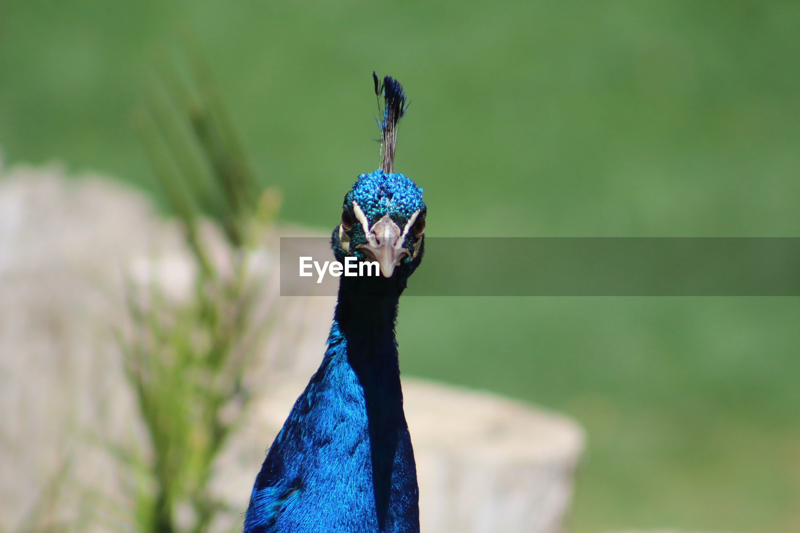 Close-up of peacock on field