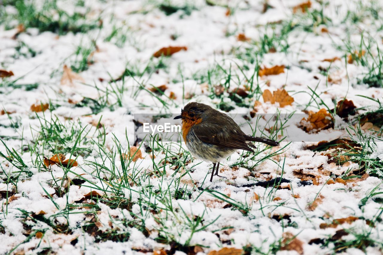 Close-Up Of Bird Perching On Snowy Field During Winter