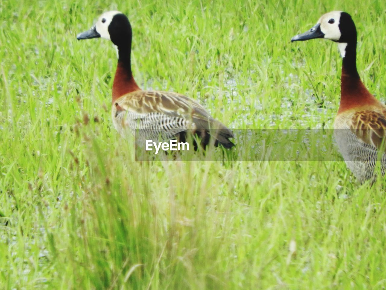 gosling, bird, animal themes, goose, animals in the wild, grass, animal family, geese, young bird, canada goose, field, water bird, nature, day, no people, togetherness, animal wildlife, greylag goose, outdoors