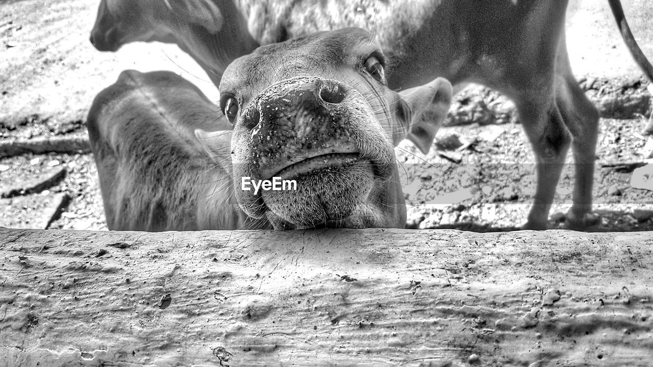 animal themes, mammal, domestic animals, livestock, day, no people, outdoors, one animal, young animal, sunlight, animals in the wild, close-up, nature