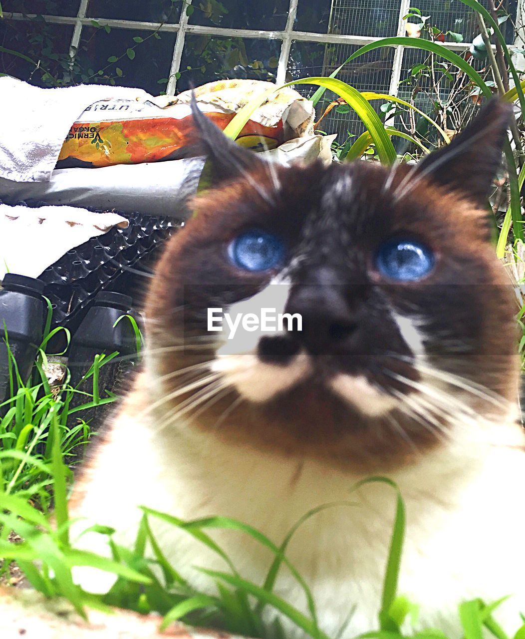 domestic cat, domestic animals, pets, mammal, animal themes, feline, one animal, cat, whisker, no people, portrait, looking at camera, day, plant, outdoors, grass, close-up, nature, siamese cat