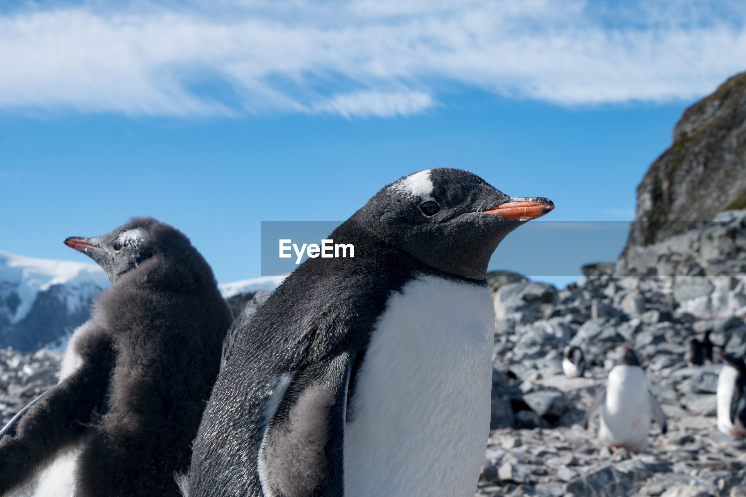 Close-up of penguins on rock against sky