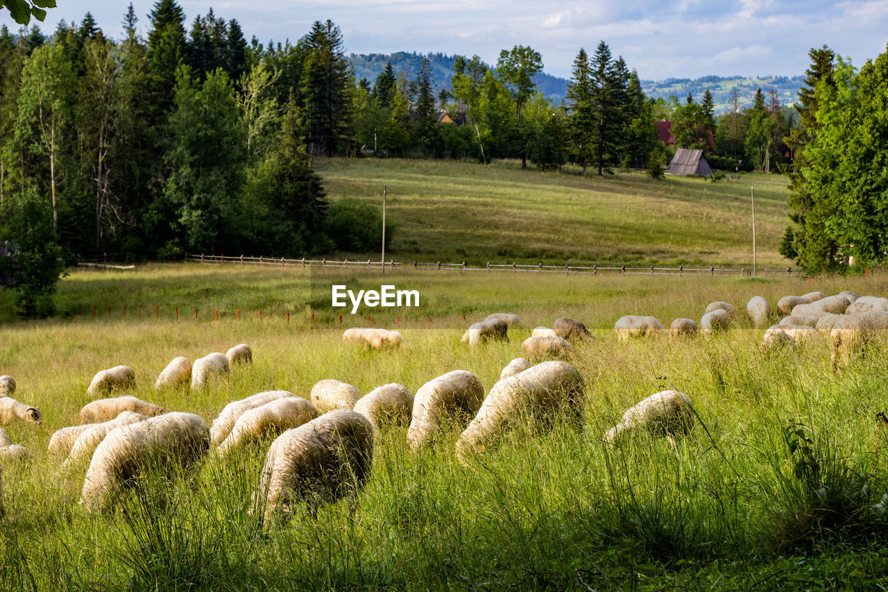 plant, tree, grass, domestic animals, land, mammal, sheep, field, livestock, domestic, animal, flock of sheep, animal themes, pets, group of animals, nature, agriculture, vertebrate, large group of animals, environment, no people, herbivorous, outdoors, herd