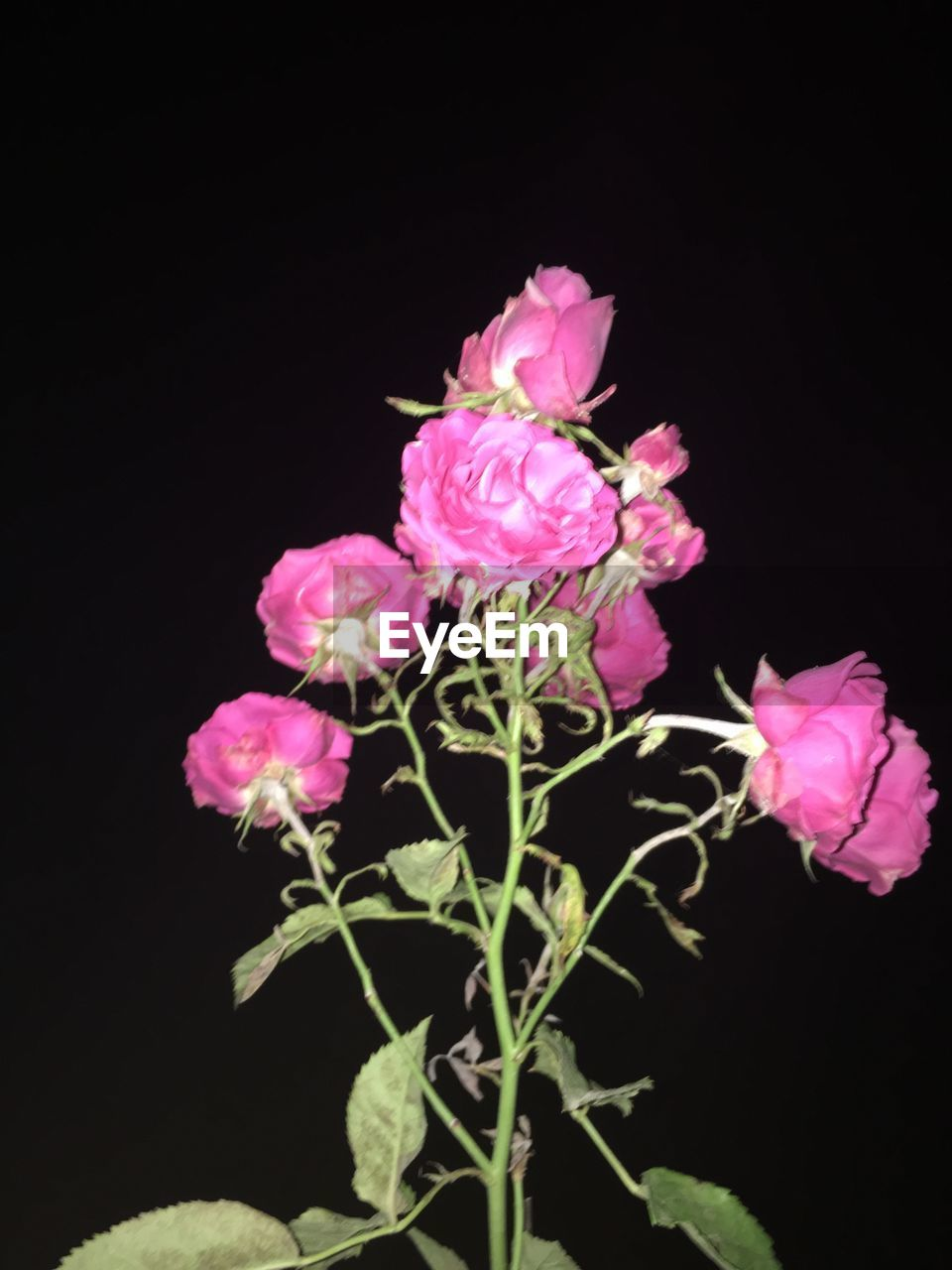 flower, petal, plant, growth, pink color, fragility, nature, black background, beauty in nature, no people, blooming, flower head, freshness, studio shot, night, close-up, outdoors
