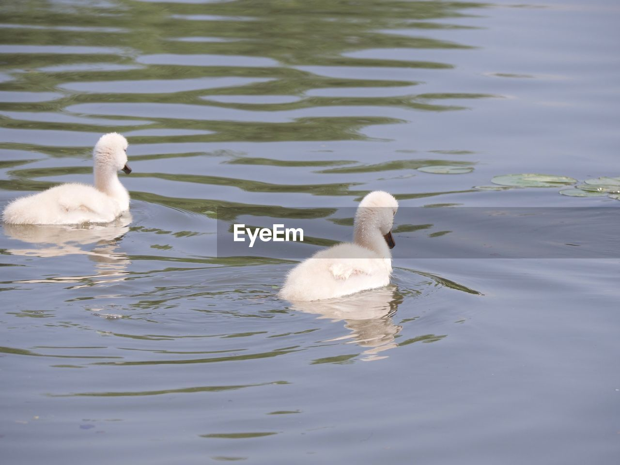 animal themes, water, animal wildlife, bird, swimming, lake, group of animals, animal, animals in the wild, vertebrate, young animal, waterfront, young bird, cygnet, swan, two animals, white color, nature, animal family, no people, outdoors, floating on water