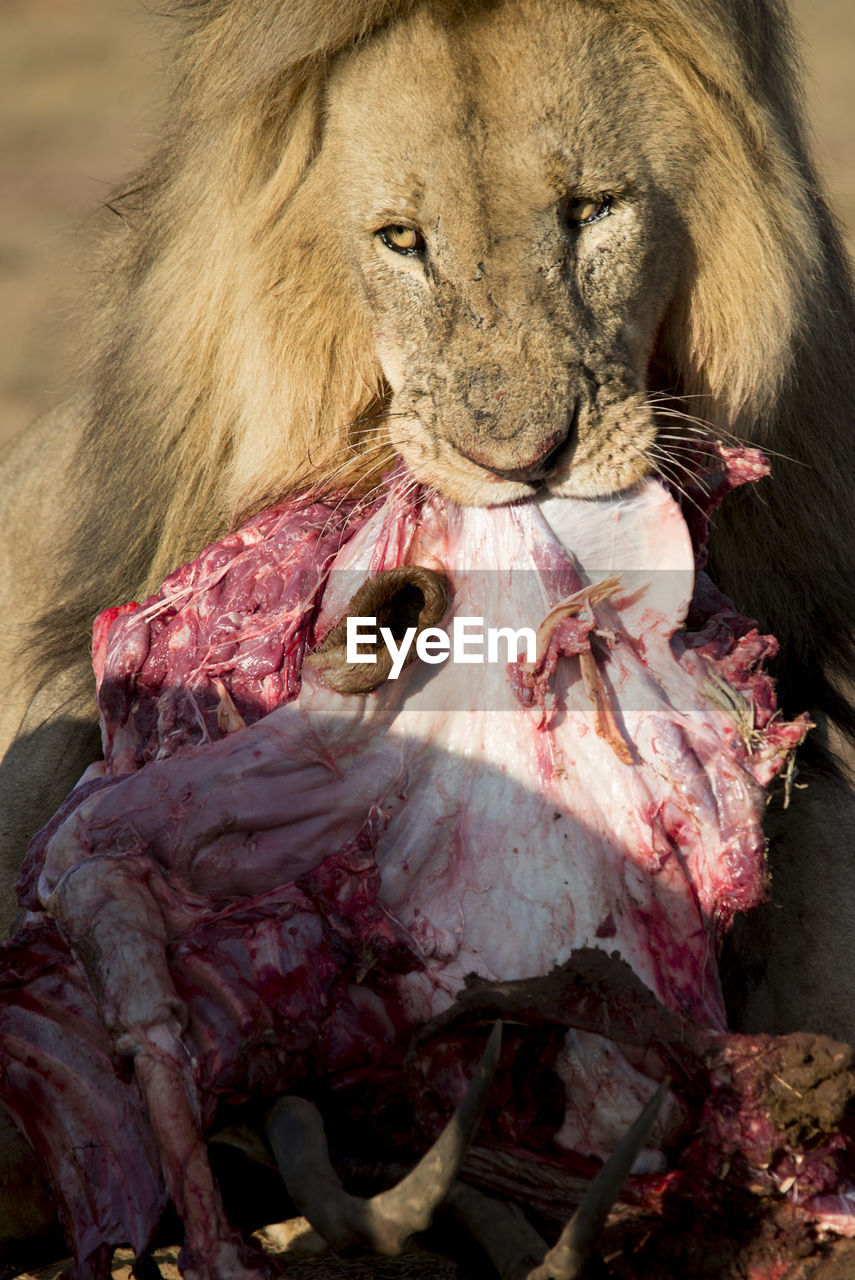 animal, animal themes, mammal, animal body part, one animal, meat, animals hunting, blood, food, food and drink, animal wildlife, hunting, survival, close-up, animals in the wild, bone, animal head, vertebrate, no people