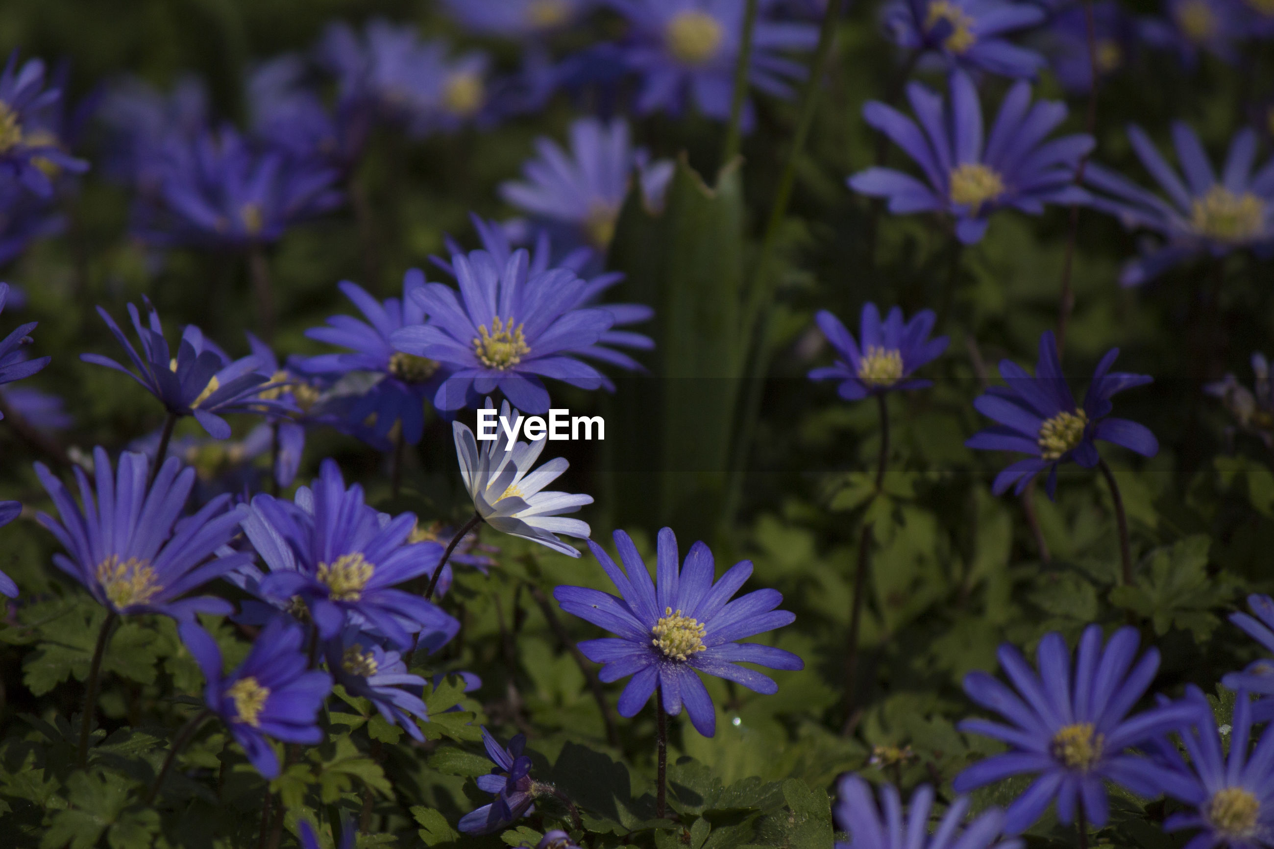 PURPLE FLOWERS BLOOMING OUTDOORS