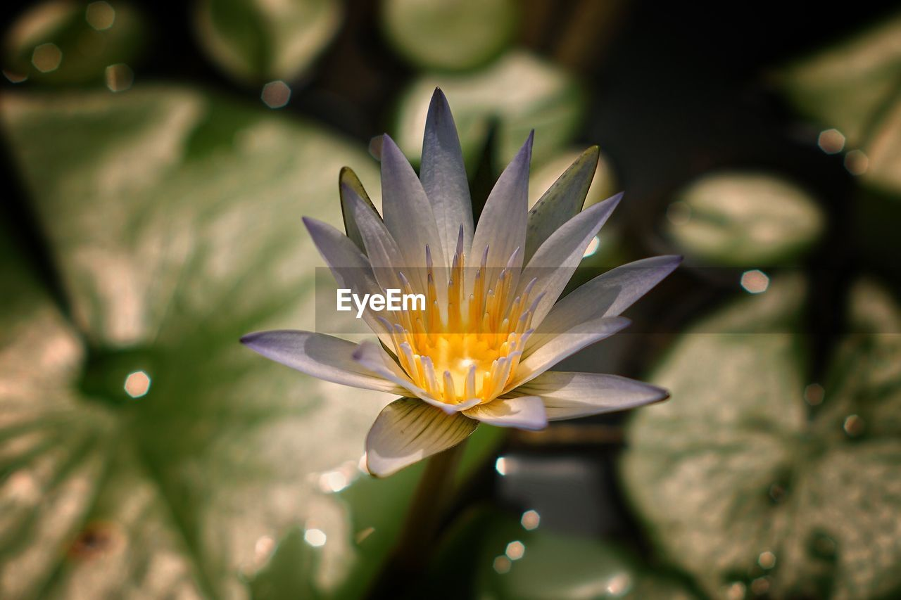 flower, petal, fragility, beauty in nature, freshness, nature, flower head, growth, close-up, plant, day, outdoors, leaf, no people, water lily, lotus water lily, blooming, water
