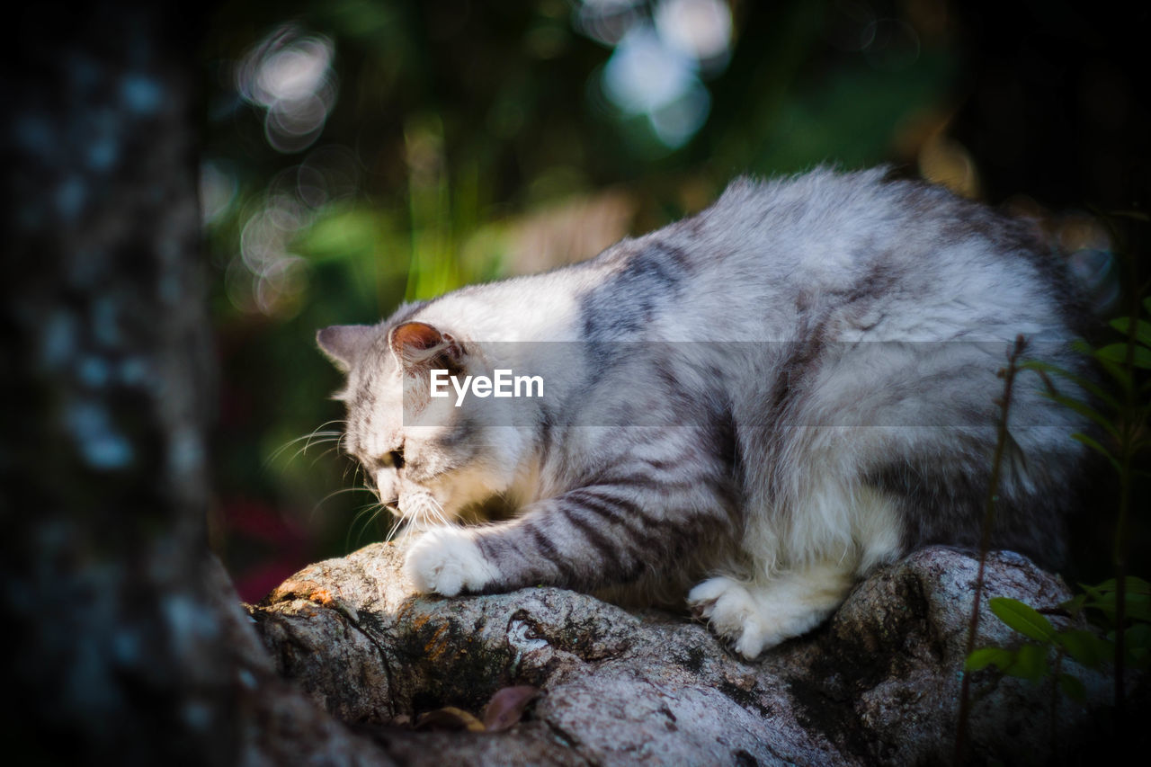 domestic cat, animal themes, one animal, feline, mammal, domestic animals, pets, no people, day, relaxation, close-up, outdoors, nature