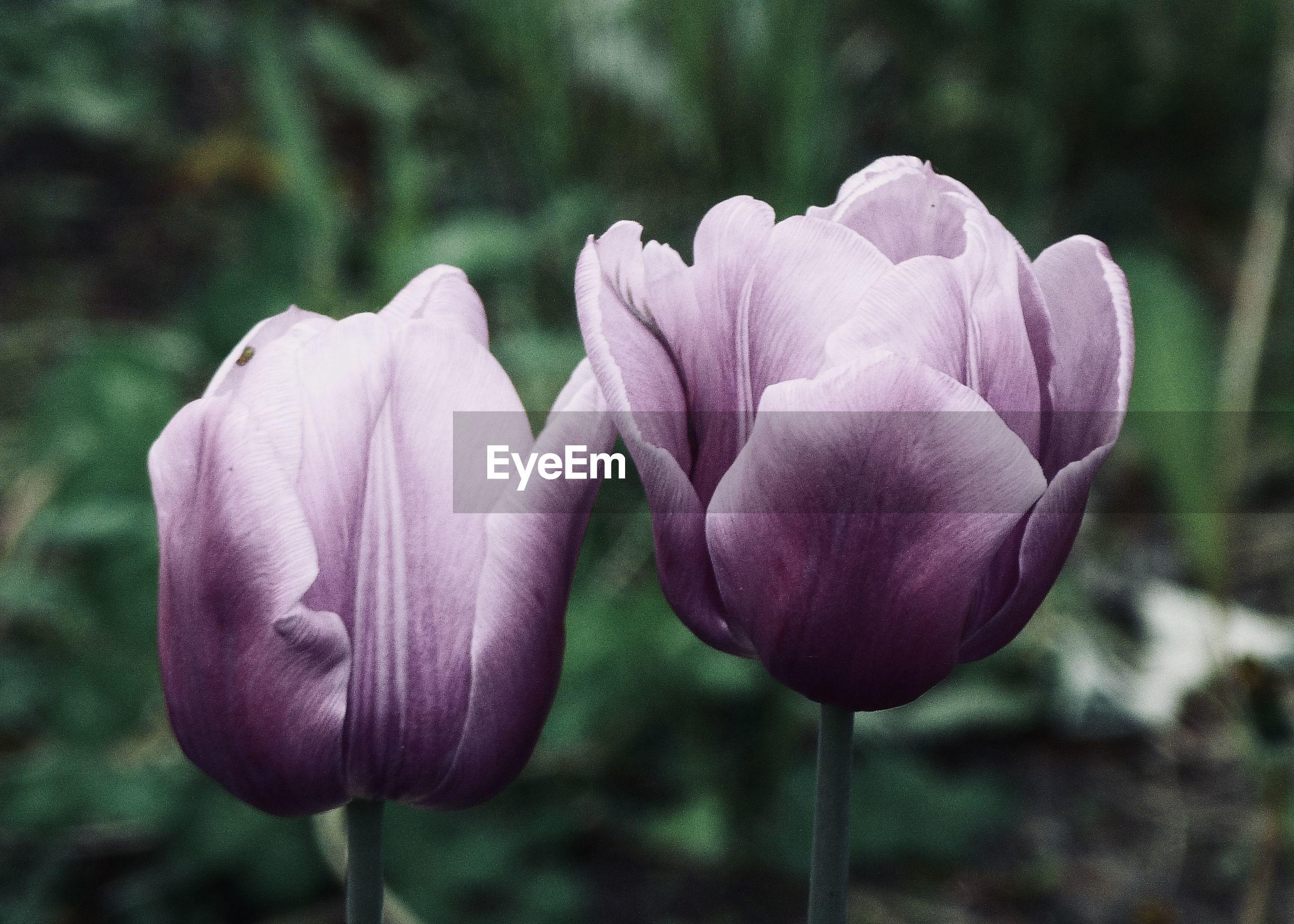 CLOSE-UP OF PURPLE TULIP FLOWER
