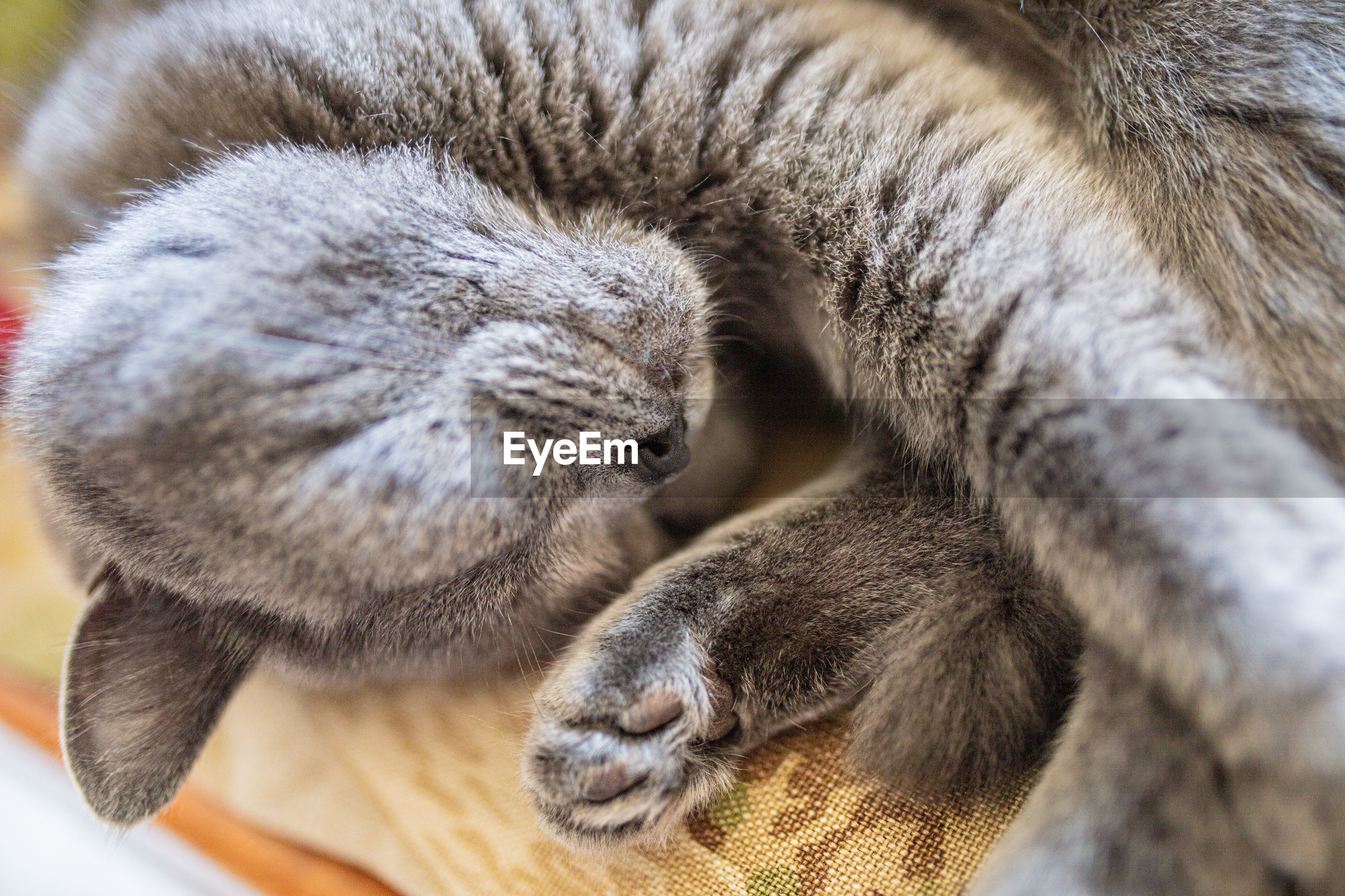 CLOSE-UP OF TABBY SLEEPING
