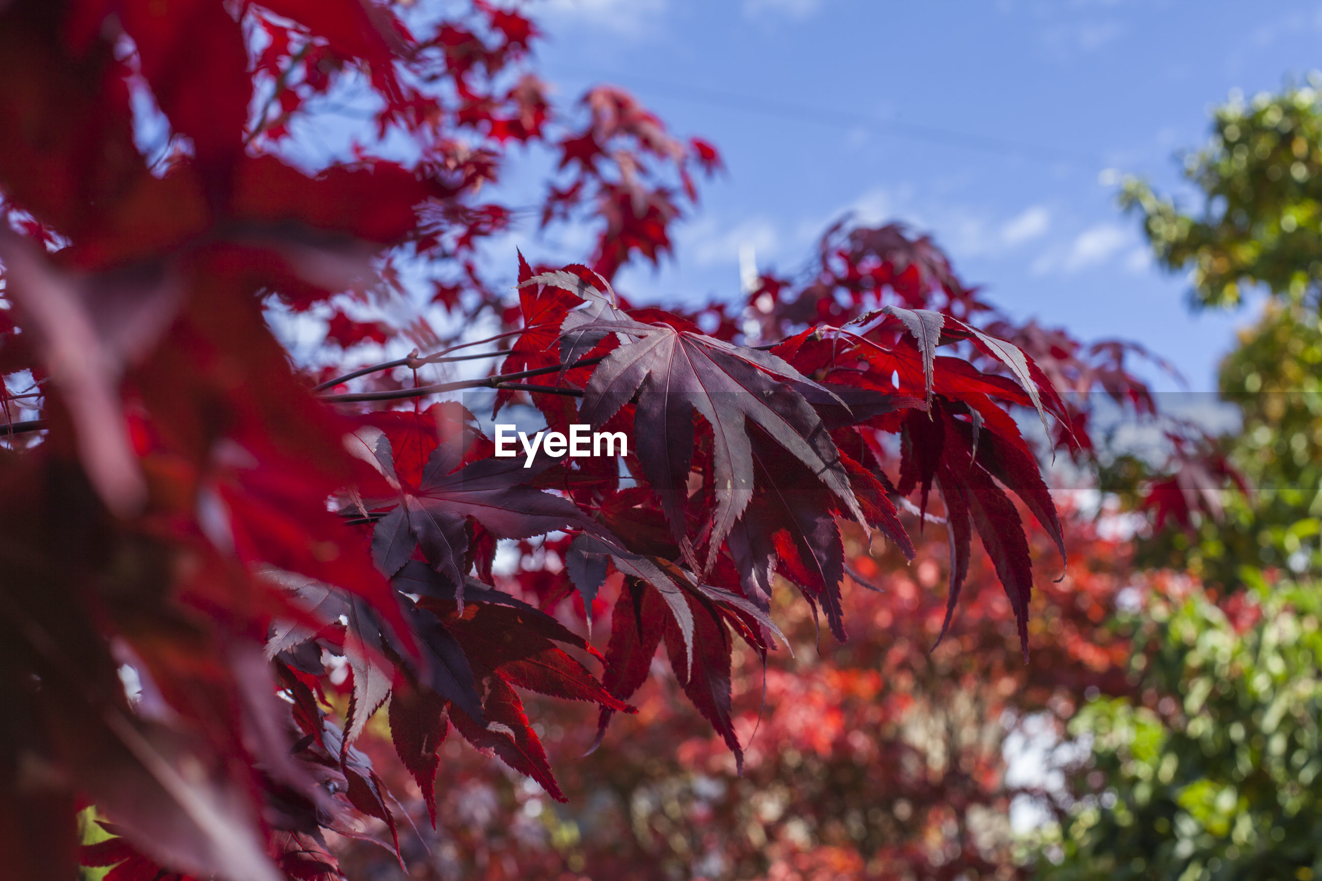 Close-up of red maple leaves on tree against sky