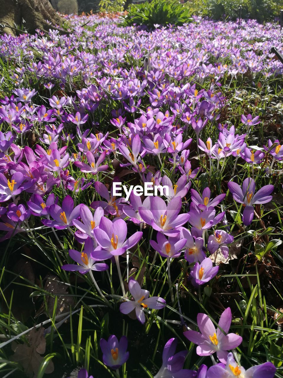 purple, flower, beauty in nature, fragility, nature, no people, growth, day, petal, freshness, plant, outdoors, blooming, flower head, close-up, tree, crocus