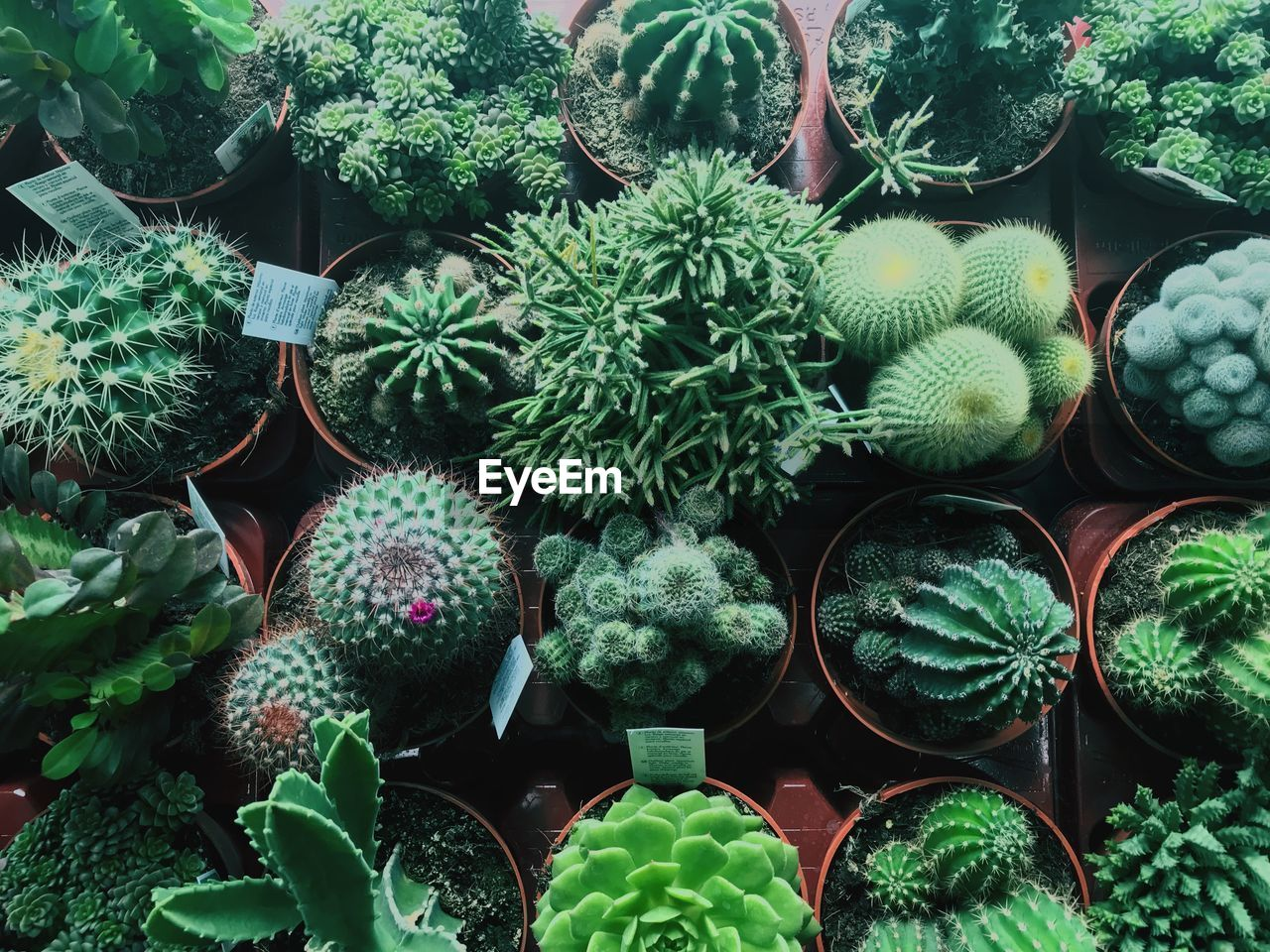 green color, succulent plant, growth, plant, cactus, no people, potted plant, day, nature, full frame, beauty in nature, leaf, large group of objects, for sale, plant part, close-up, variation, choice, thorn, outdoors, plant nursery, spiky