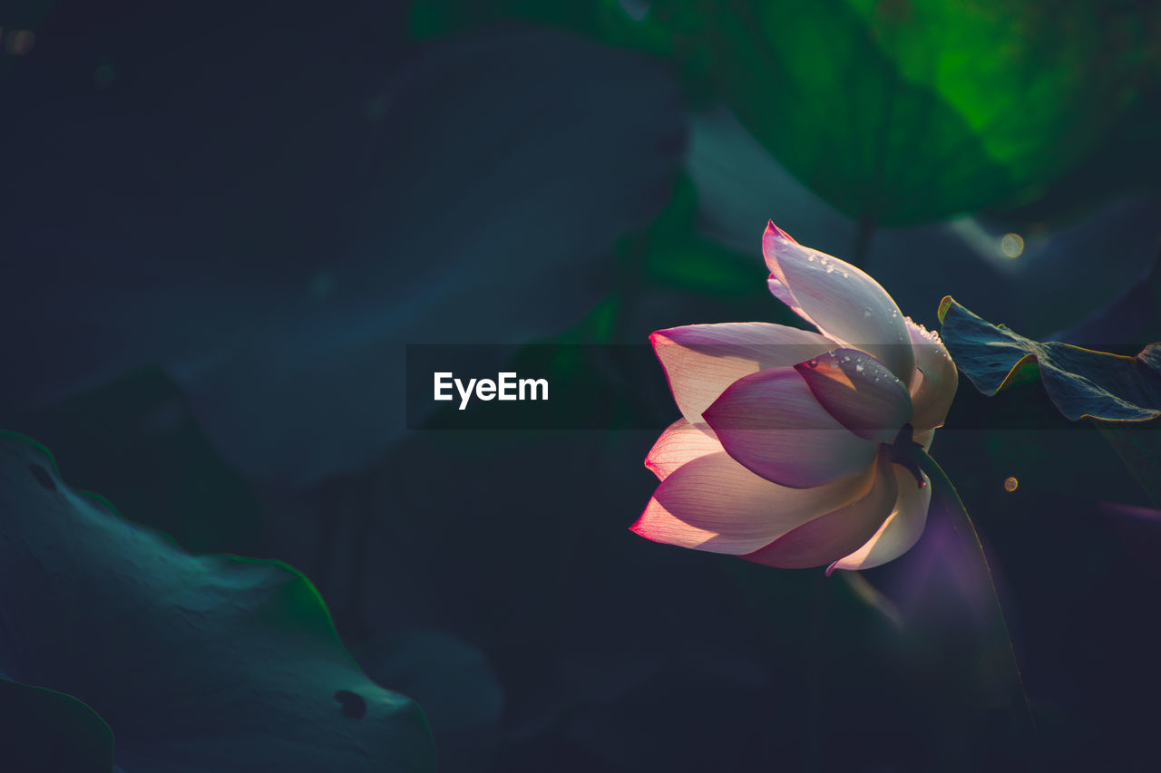 flowering plant, beauty in nature, plant, flower, petal, fragility, vulnerability, freshness, growth, flower head, inflorescence, close-up, nature, no people, leaf, plant part, focus on foreground, day, outdoors, lotus water lily