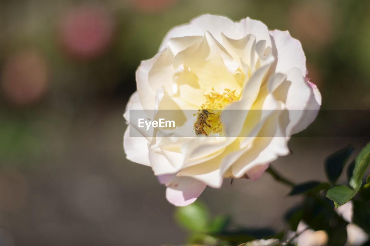 flowering plant, flower, vulnerability, fragility, beauty in nature, petal, freshness, plant, close-up, inflorescence, growth, flower head, focus on foreground, nature, white color, rose, rose - flower, day, no people, outdoors, pollen