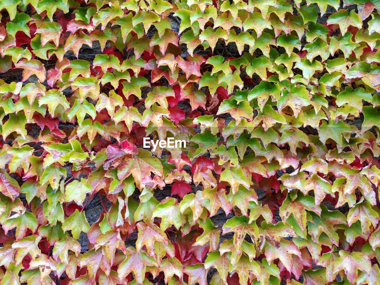 full frame, backgrounds, plant part, leaf, growth, no people, beauty in nature, day, close-up, plant, ivy, green color, nature, abundance, outdoors, land, autumn, tranquility, natural pattern, freshness, change, leaves