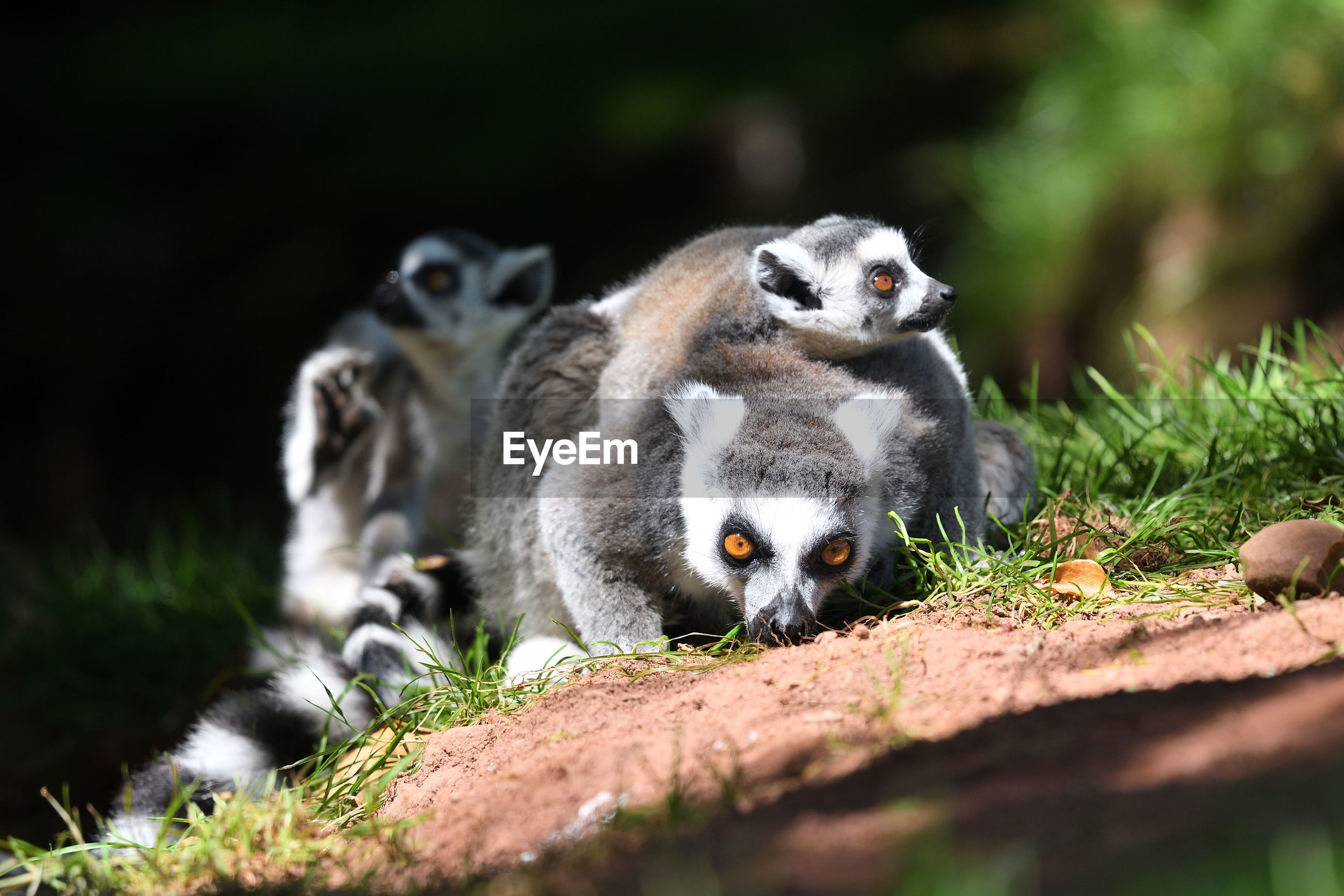 Close up of a family of ring tailed lemurs