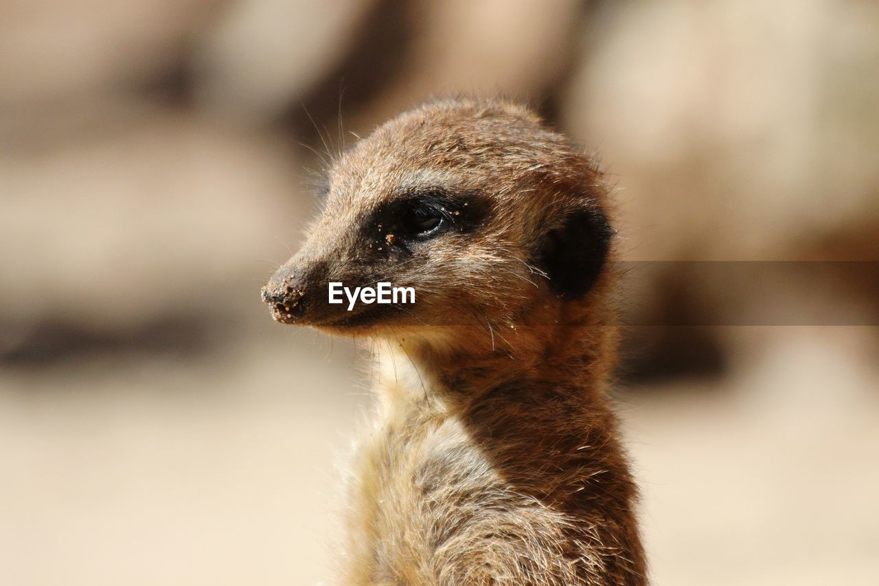 animal themes, one animal, animal, mammal, animal wildlife, focus on foreground, vertebrate, animals in the wild, meerkat, looking, close-up, no people, looking away, animal body part, day, nature, outdoors, animal head, brown, sunlight, animal eye, herbivorous, snout