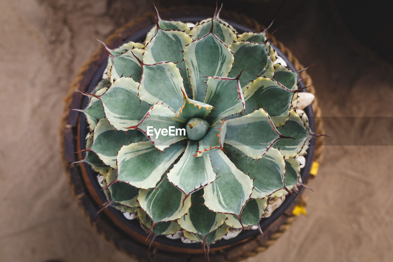 succulent plant, cactus, green color, growth, close-up, plant, beauty in nature, thorn, no people, nature, natural pattern, day, high angle view, sharp, spiked, potted plant, directly above, focus on foreground, outdoors, flower, spiky, arid climate