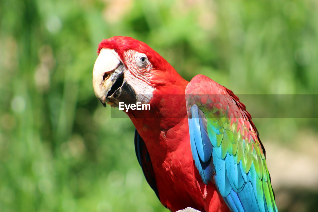 red, bird, scarlet macaw, macaw, parrot, one animal, animals in the wild, animal wildlife, focus on foreground, animal themes, multi colored, day, nature, no people, outdoors, beak, close-up, perching, beauty in nature