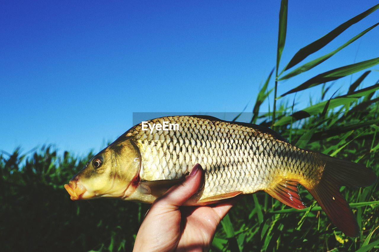 Cropped image of hand holding dead fish by plants against clear blue sky