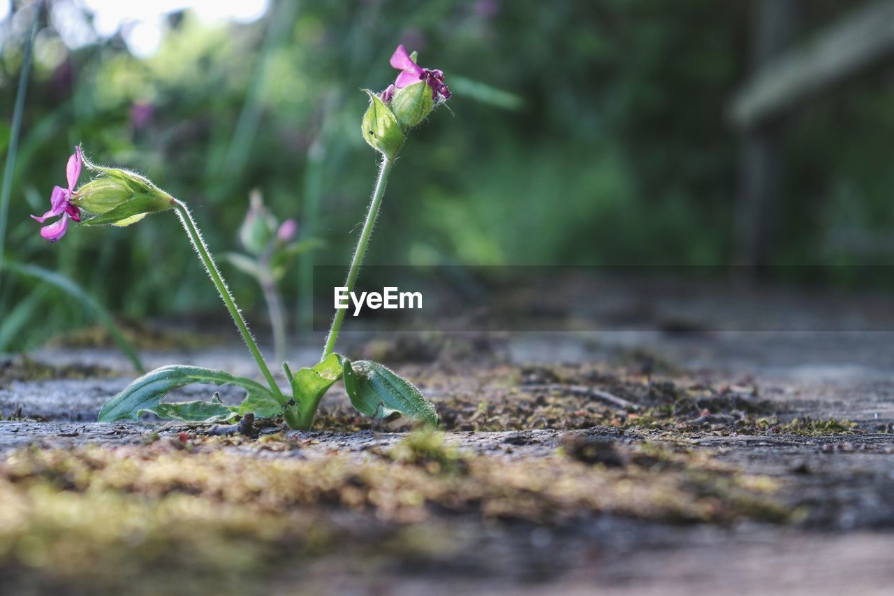 plant, growth, selective focus, flower, nature, beauty in nature, vulnerability, close-up, fragility, flowering plant, land, no people, freshness, field, day, plant part, leaf, green color, beginnings, new life, outdoors, surface level, flower head