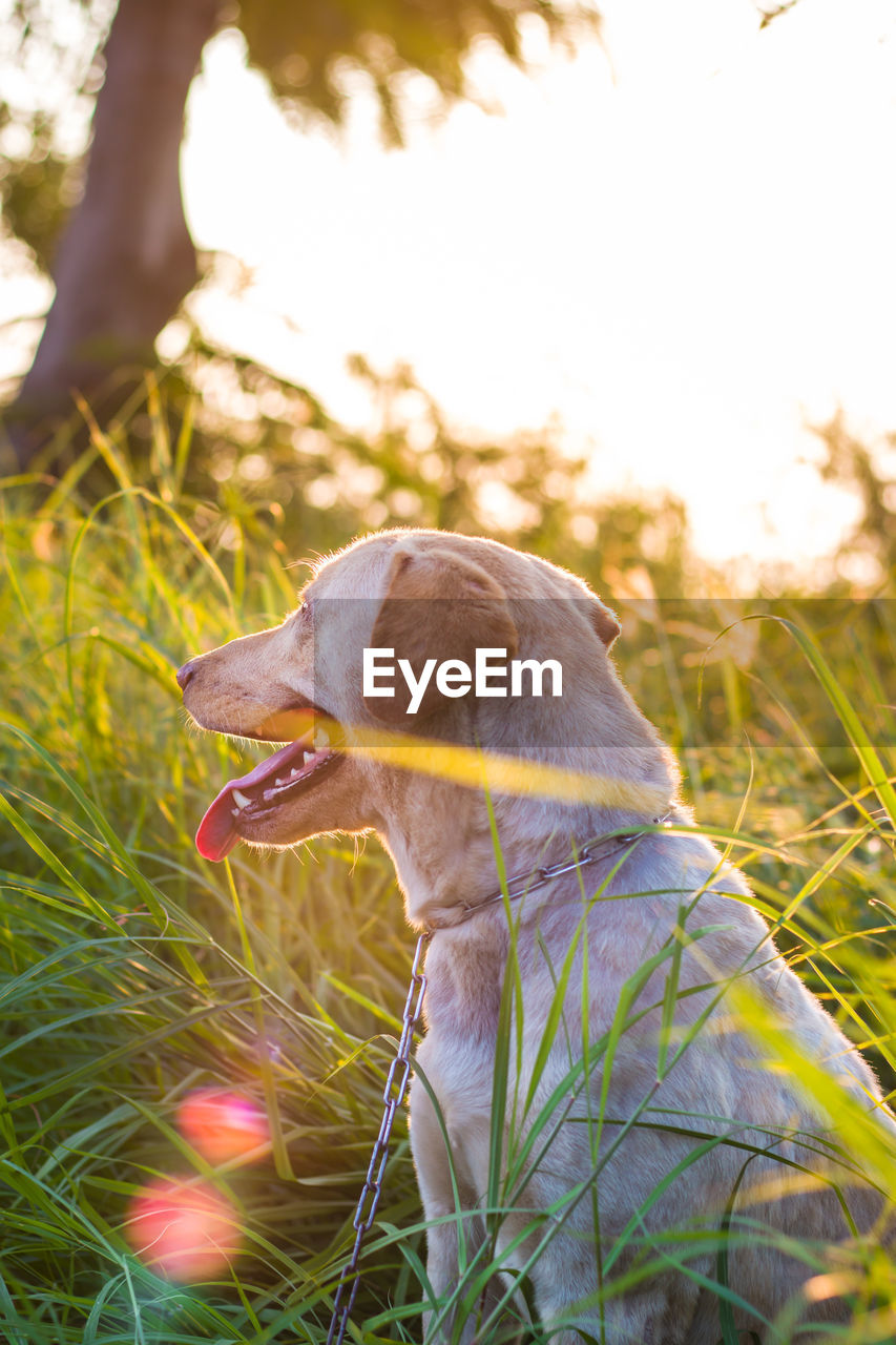 one animal, animal themes, animal, mammal, canine, dog, domestic, plant, domestic animals, grass, pets, vertebrate, field, land, nature, day, looking, focus on foreground, close-up, mouth open, no people, outdoors