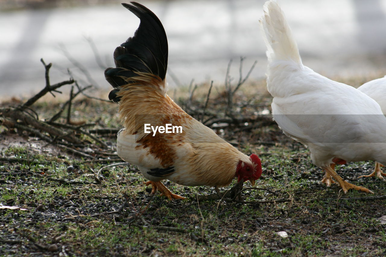 Hens Perching On Field
