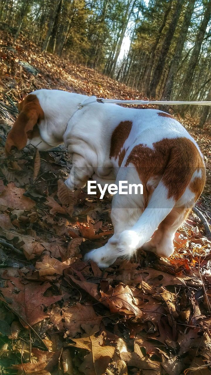 dog, pets, domestic animals, animal themes, one animal, mammal, leaf, tree, nature, autumn, no people, outdoors, day, full length, beagle