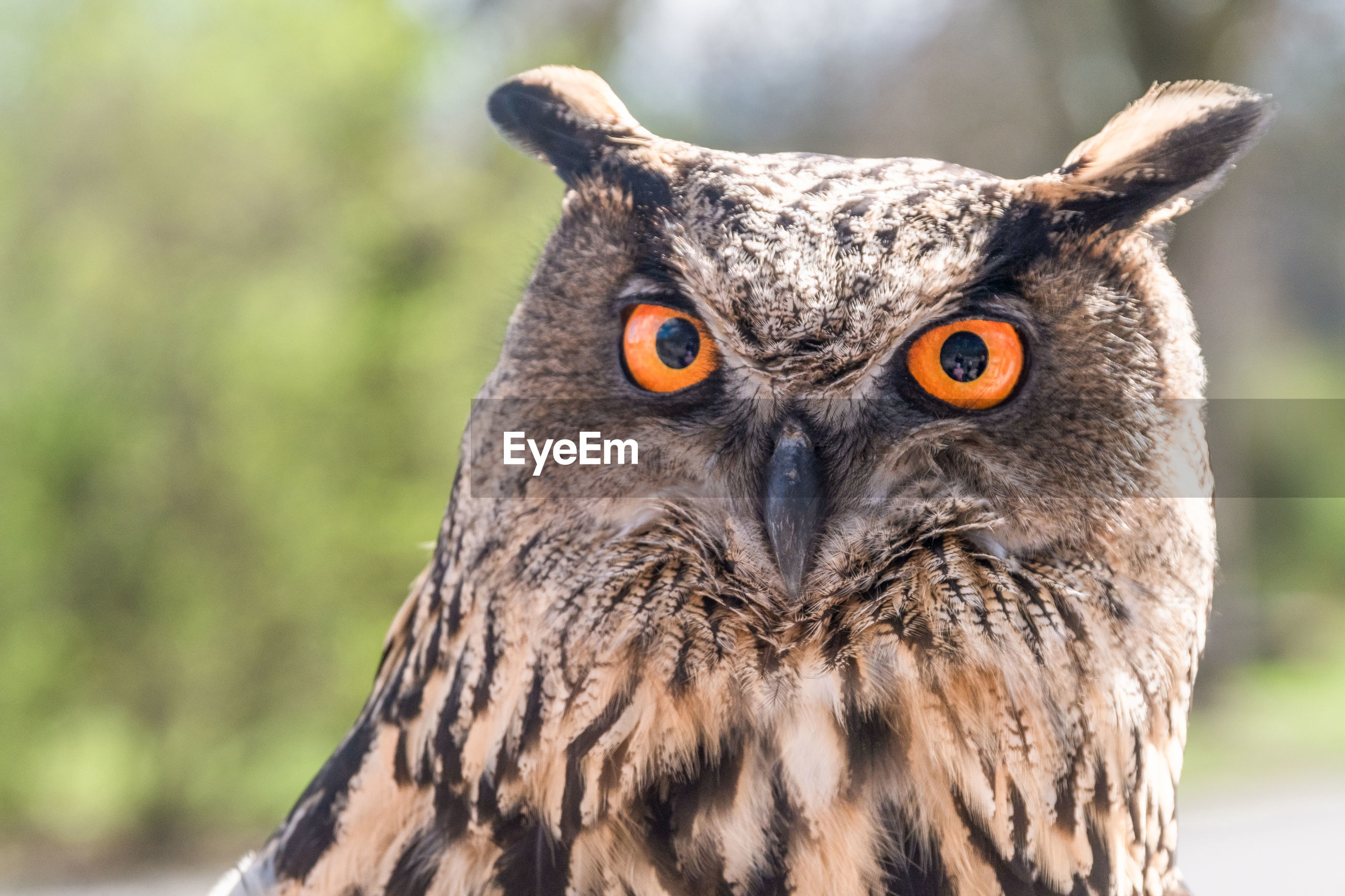 Close-up portrait of eurasian eagle-owl