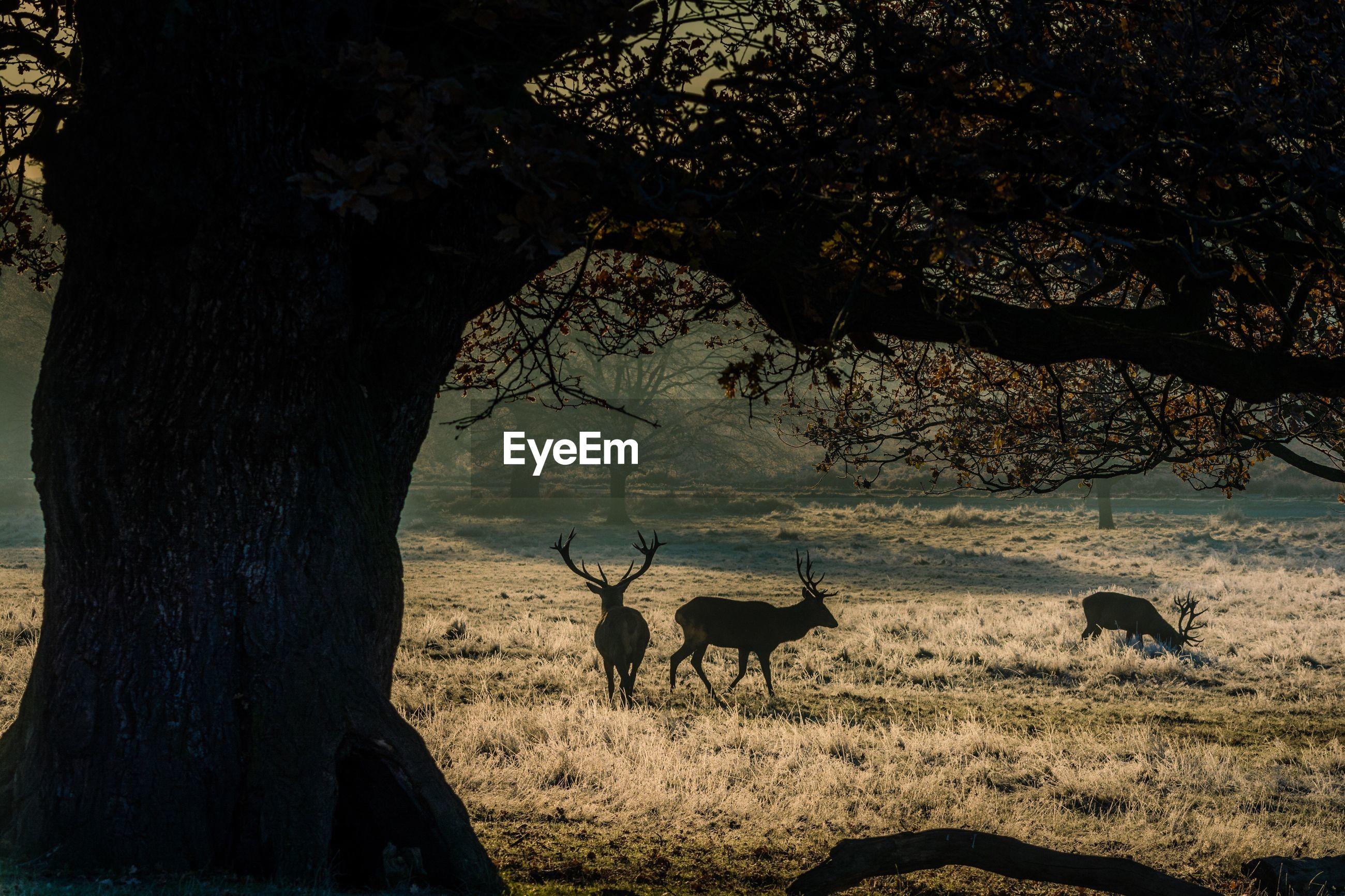 Deer walking on field