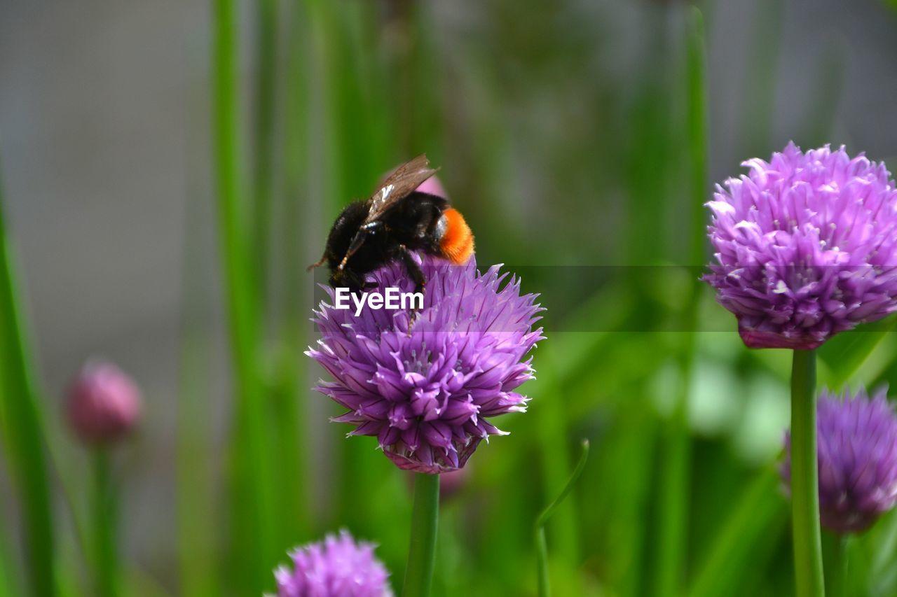 Bee on allium flower blooming outdoors