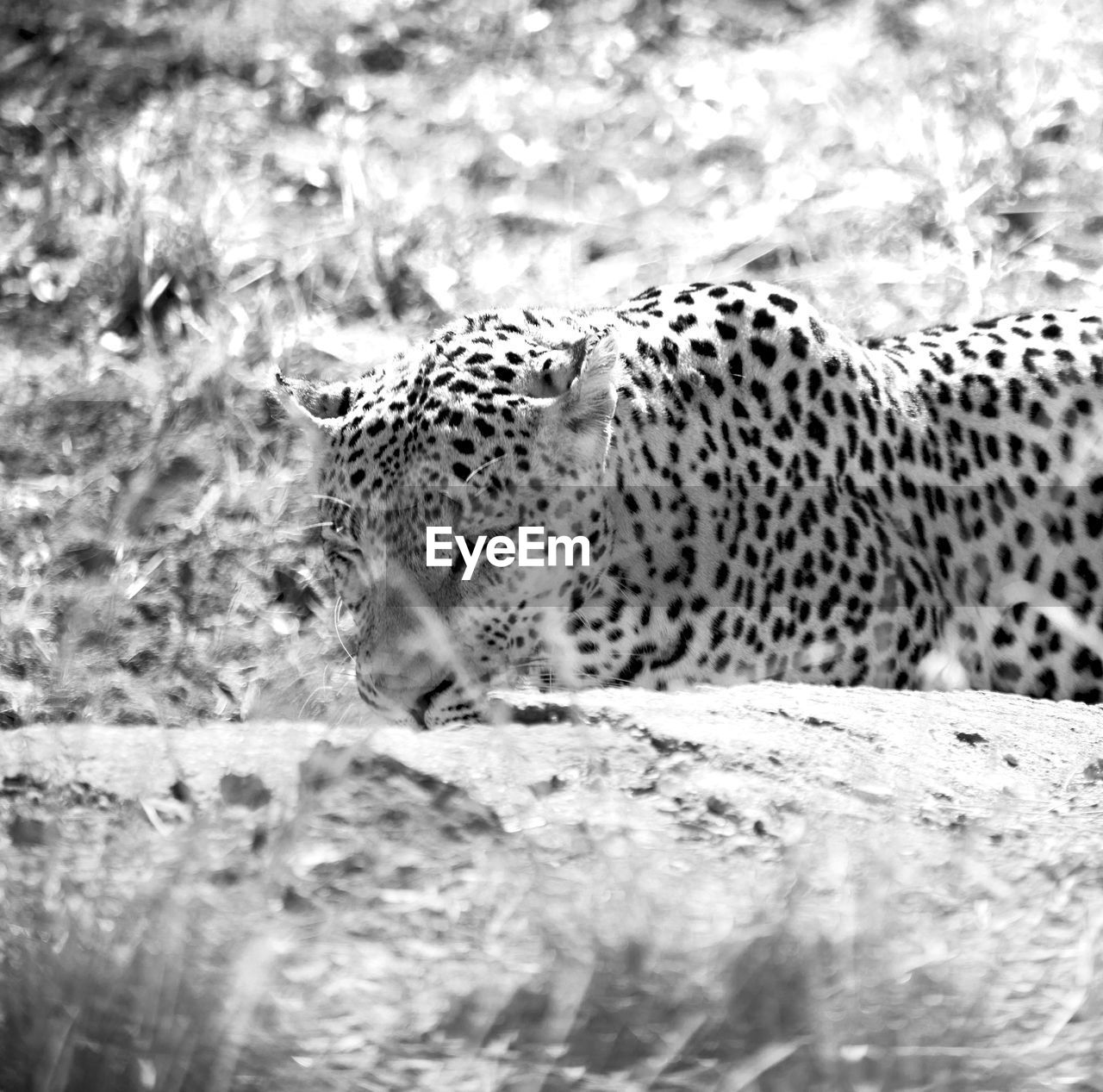 one animal, animal, animals in the wild, feline, animal wildlife, animal themes, big cat, mammal, cat, spotted, vertebrate, leopard, no people, selective focus, carnivora, nature, land, day, relaxation, cheetah, undomesticated cat, whisker, animal head