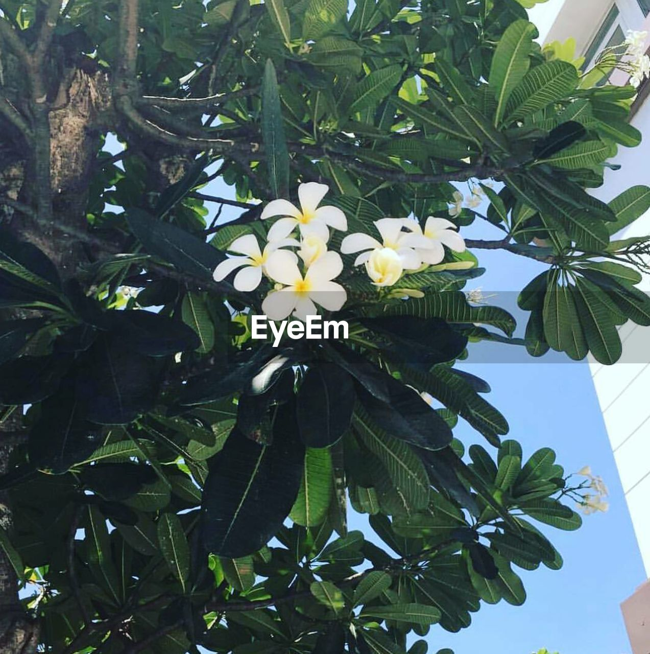 flower, growth, leaf, petal, beauty in nature, nature, freshness, no people, day, fragility, green color, plant, blooming, outdoors, flower head, tree, close-up, frangipani