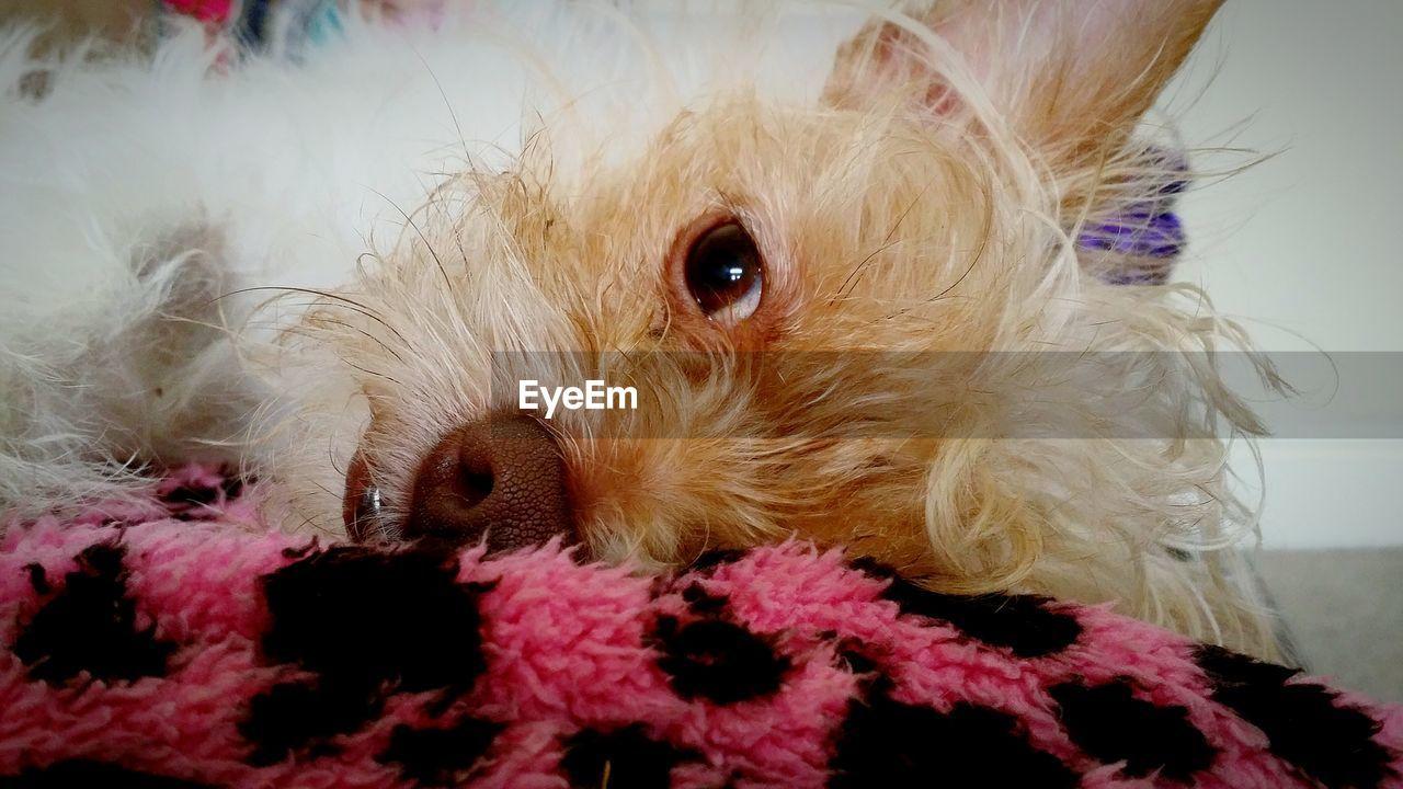 Cute Dog Lying On Blanket