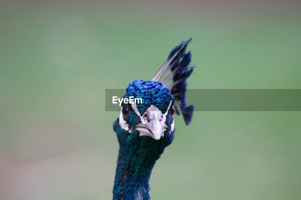 Close-Up Of Peacock Against Blurred Background