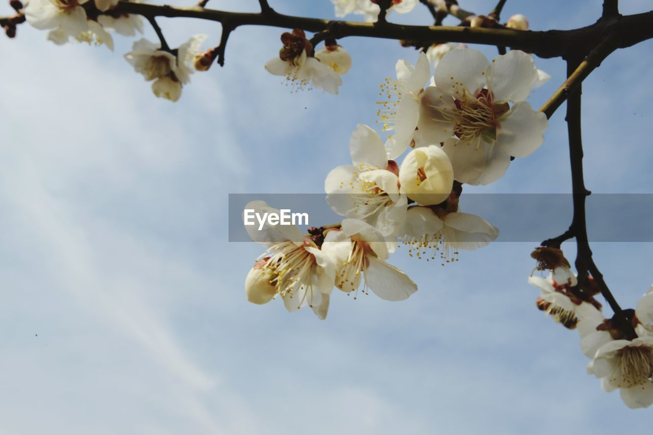plant, flower, flowering plant, fragility, growth, beauty in nature, vulnerability, freshness, tree, petal, blossom, nature, branch, close-up, low angle view, white color, sky, springtime, day, no people, flower head, pollen, outdoors, cherry blossom, spring