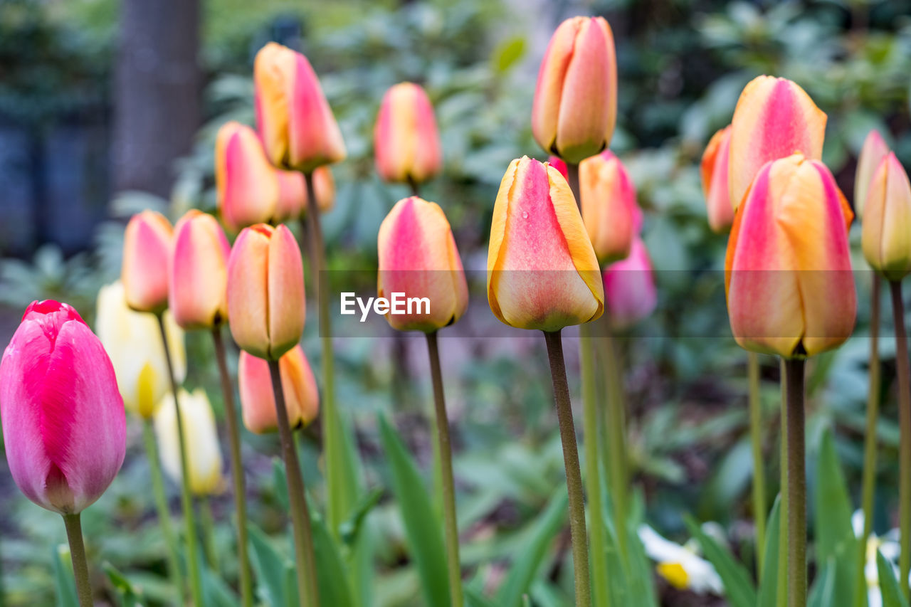 flower, growth, nature, plant, petal, beauty in nature, fragility, freshness, blooming, tulip, flower head, pink color, outdoors, no people, close-up, day, crocus