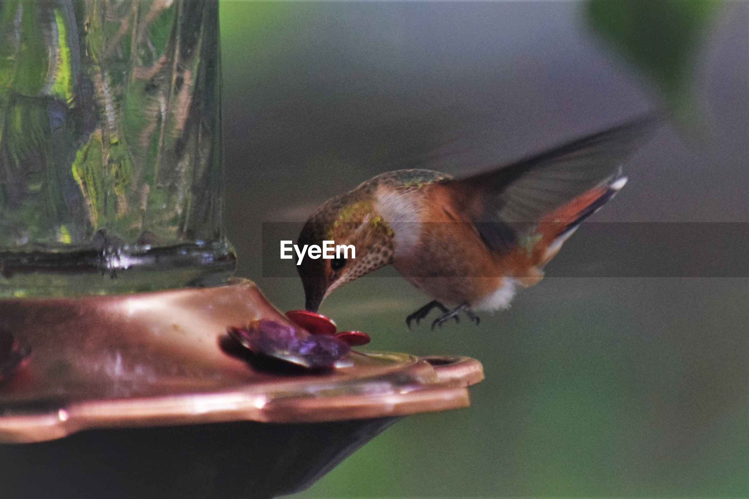 animal, animal themes, bird, animal wildlife, wildlife, hummingbird, one animal, beak, eating, close-up, bird feeder, no people, food, feeding, nature, food and drink, day, flying, focus on foreground, outdoors