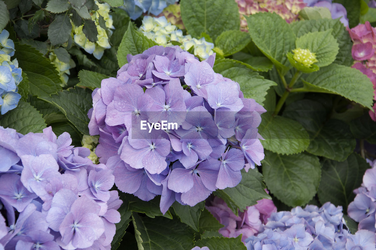 growth, flower, purple, plant, beauty in nature, nature, petal, leaf, hydrangea, fragility, freshness, no people, green color, blooming, outdoors, day, flower head, close-up, lilac